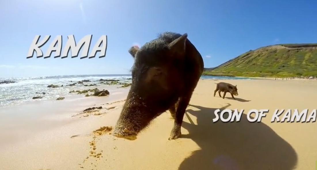 Kama le cochon surfeur