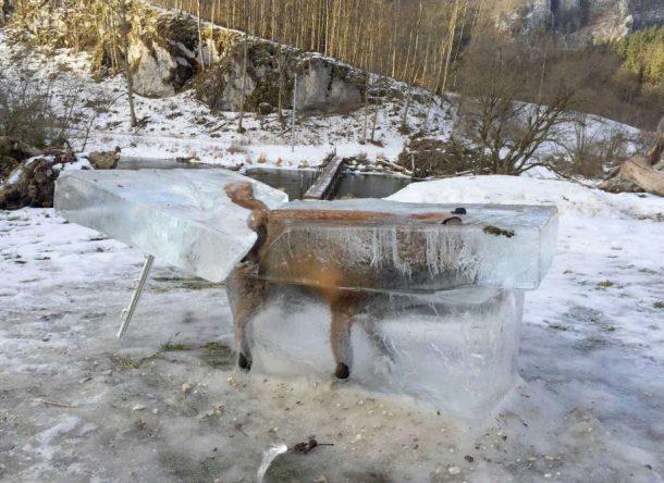 renard-congele1-610x444