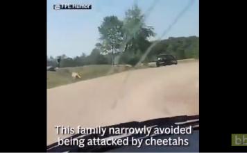 Un homme préfère se mettre à l'abri d'une attaque de guépards plutôt que de protéger sa famille